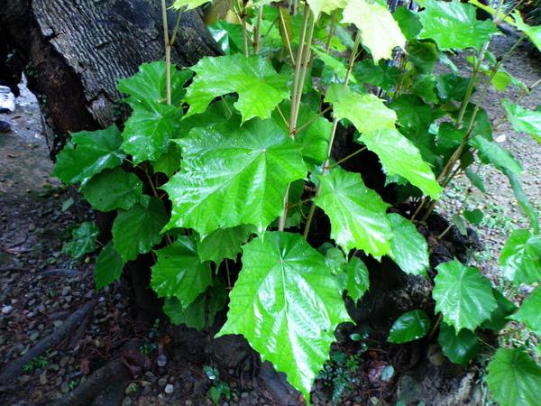 02-01槭葉翅子木.JPG