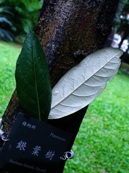 09-02銀葉樹.JPG