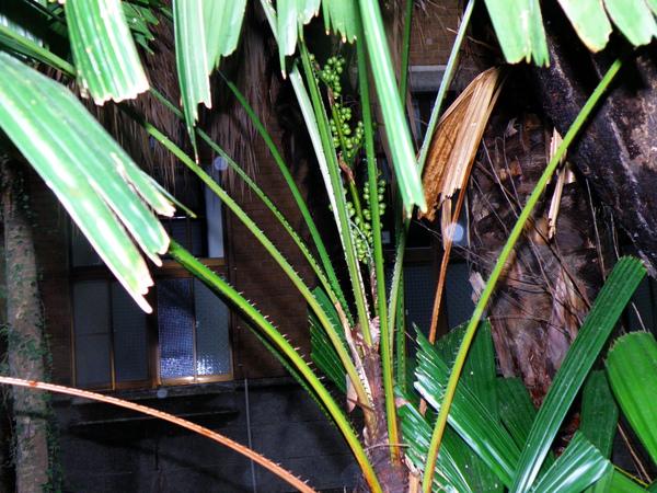 12-02刺軸櫚~大小葉有刺.JPG