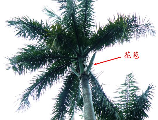 大王椰子1 .bmp