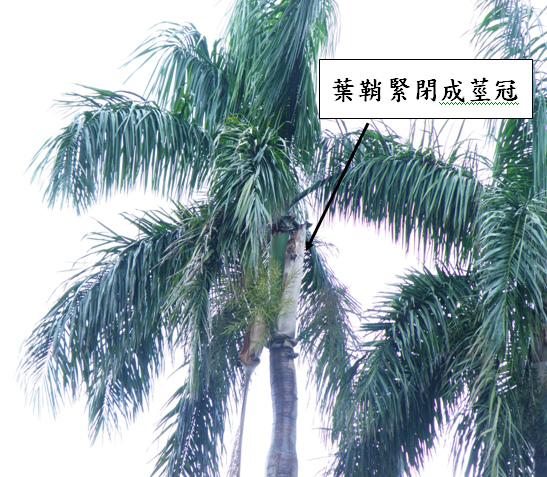 大王椰子2.bmp