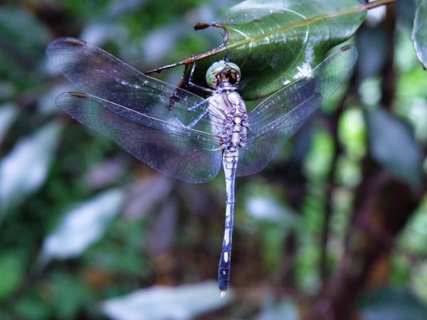 01-02侏儒蜻蜓.JPG