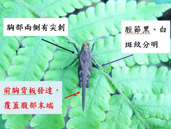 15-02平背棘稜蝗~脛節黑白分明~前胸背板發達~兩側尖刺.bmp
