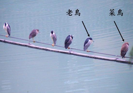20-01夜鷺`老鳥和亞成鳥 (2).bmp