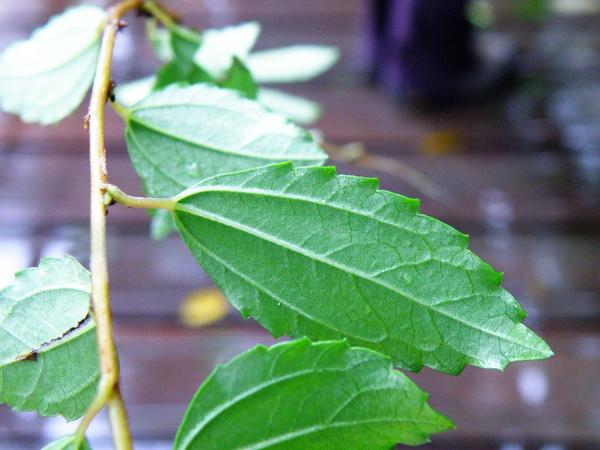 22-01蕁麻科水雞油葉和花 .JPG