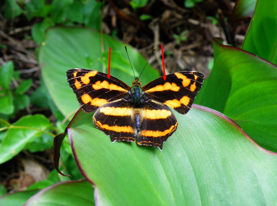 07-01大陸種黃三線蝶.bmp