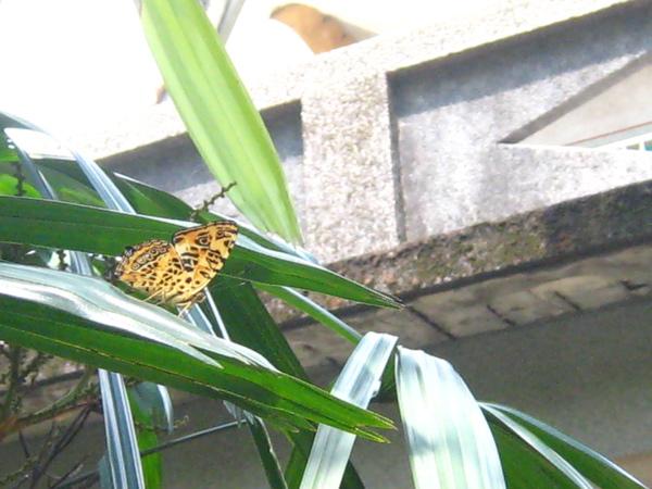 07-04姬黃三線蝶 腹面.JPG