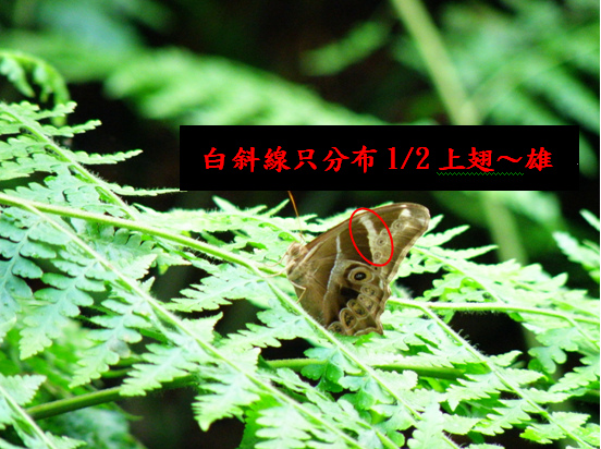 09-01玉帶蔭蝶 .bmp