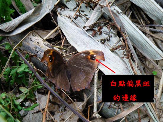 10-01黑樹蔭蝶 .bmp