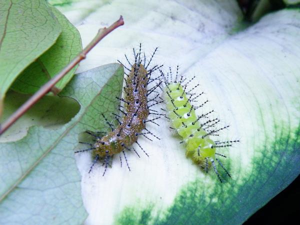 21-01終齡轉綠的台灣黃斑蛺蝶幼蟲.JPG