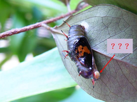 21-02台灣黃斑蛺蝶.bmp