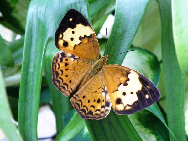 21-04台灣黃斑蛺蝶.JPG