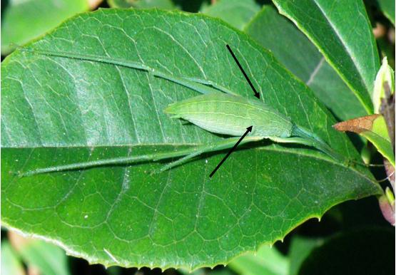 22-02褐背露蟴~終齡若蟲~翅芽~停棲葉中脈隱身.bmp
