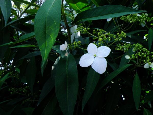 15-05八仙花科華八仙~花萼瓣化.JPG