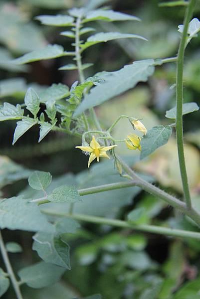 番茄的小花