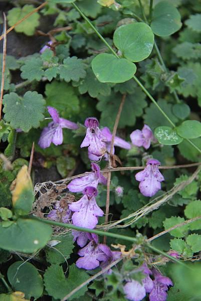 普剌特草的花