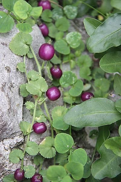 普剌特草的果實