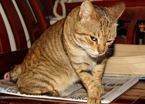 鳳梨頭家的貓