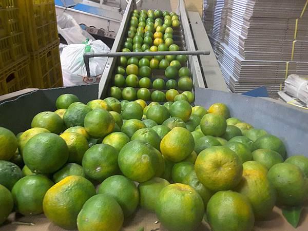 友善耕作農盟~阿火伯的柑橘園