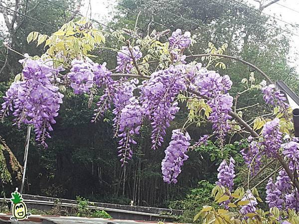 2018嘉義瑞里紫藤花