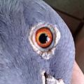 老詹森792鴿眼