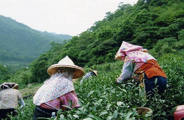 茶園採茶(高泉坤提供).jpg