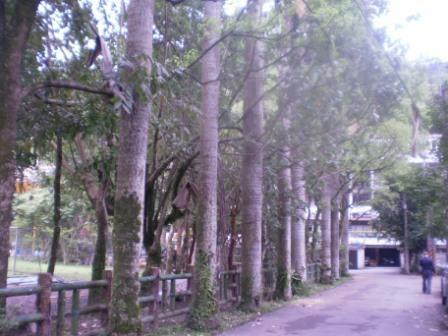 14-加強圍籬的守護功能是高越15M粗壯的椰子樹.JPG