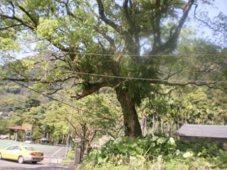 23百年樟樹在龜山.JPG