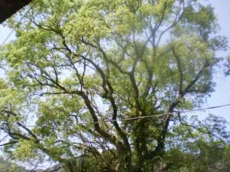 24百年樟樹枝葉繁茂與晴空爭豔.JPG