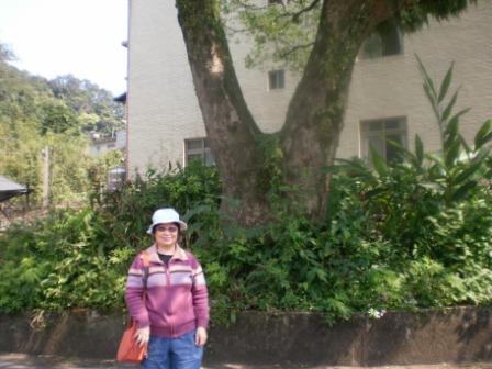25百年樟樹-yeah.JPG