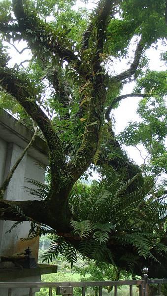 大樹公寓附生多種蕨類