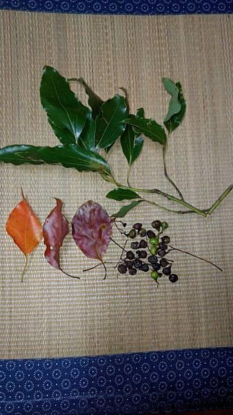 樟樹葉的不同時期及果粒