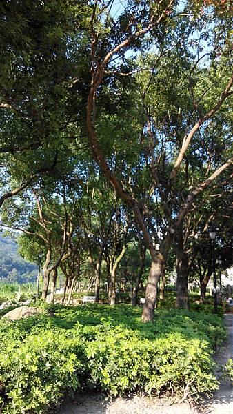 河濱公園的陽光穿透叢叢樟樹