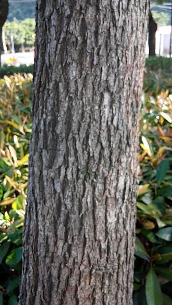 樟樹外皮的縱行紋路令人印象深刻