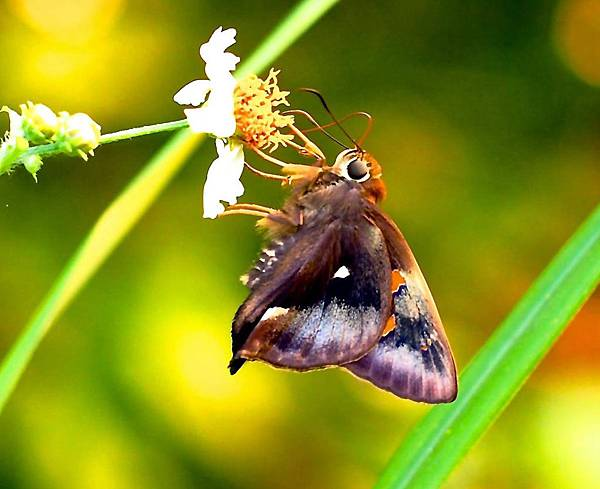 6-鐵色絨毛弄蝶