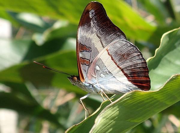 8-紫單帶蛺蝶JPG