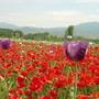 馬其頓-罌粟花海