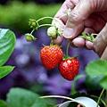 我家種草莓