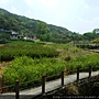 2016竹子湖海芋季~(9/20)
