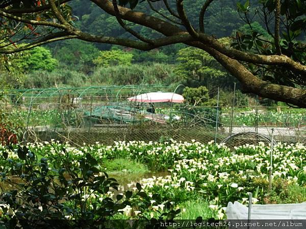 2016竹子湖海芋季~(14/20)