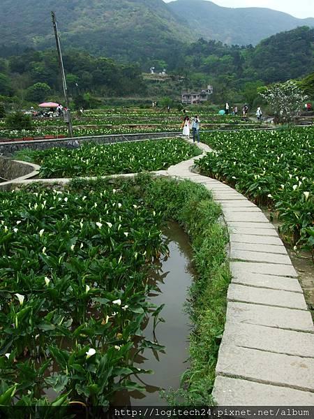2016竹子湖海芋季~(15/20)