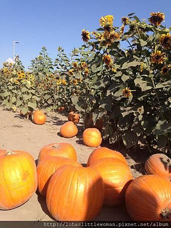 First pumpkin patch 採南瓜初體驗