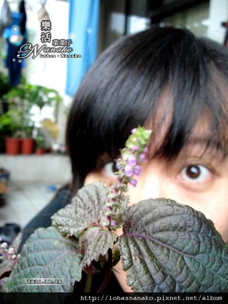 shiso_004.jpg