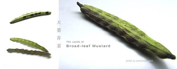seeds_mustard