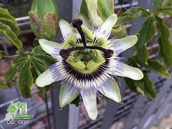australia_baishanfruit.jpg