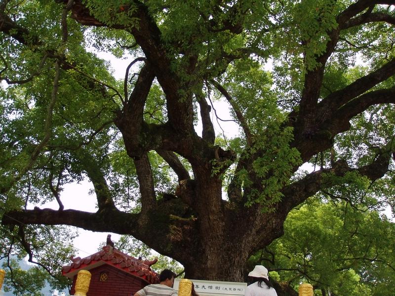 集集小鎮 - 大樟樹