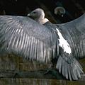 印度白背鷲