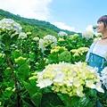 午後陽光繡球花田 (19).JPG