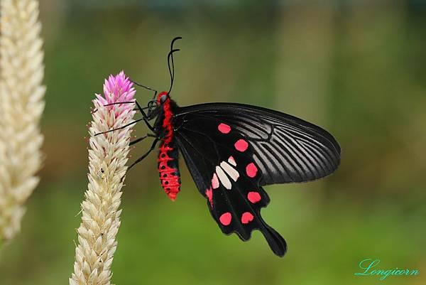 紅珠鳳蝶.JPG