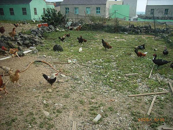 菜宅內的放山雞